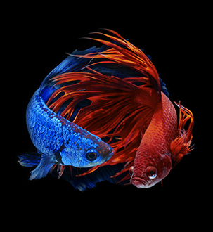 bettas-fish-all-for-pets