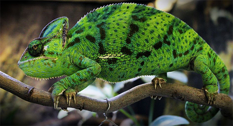 chameleon pets